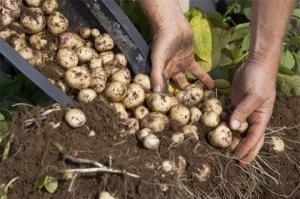 Potatoes in barrel