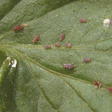 pest-control-aphids